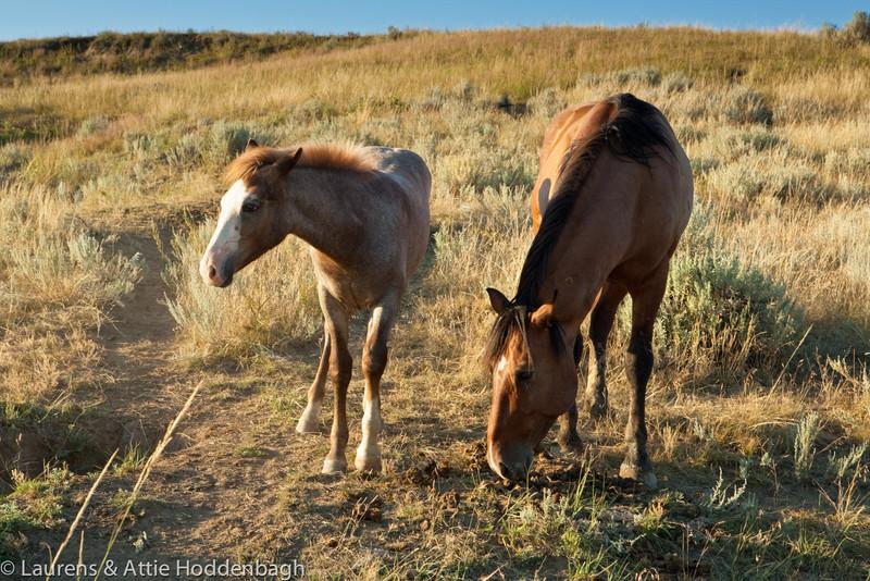 Wild Horses in Theodore Roosevelt Nat'l Park, ND  Filename: CEM009308-TRNP-ND-USA.jpg