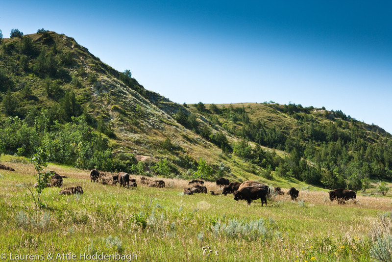 Bison herd in Theodore Roosevelt National Park