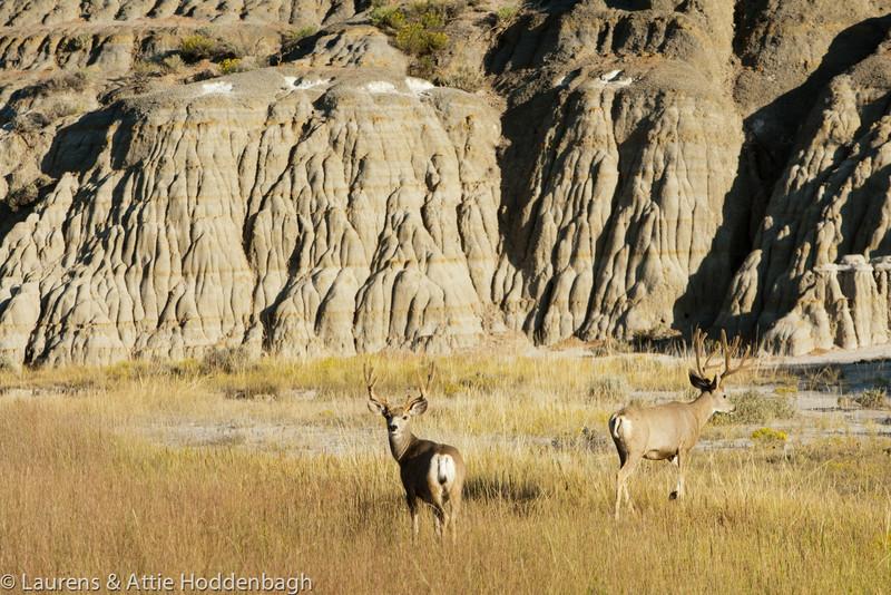 Deer in Theodore Roosevelt National Park  Filename: CEM009366-TRNP-ND-USA.jpg