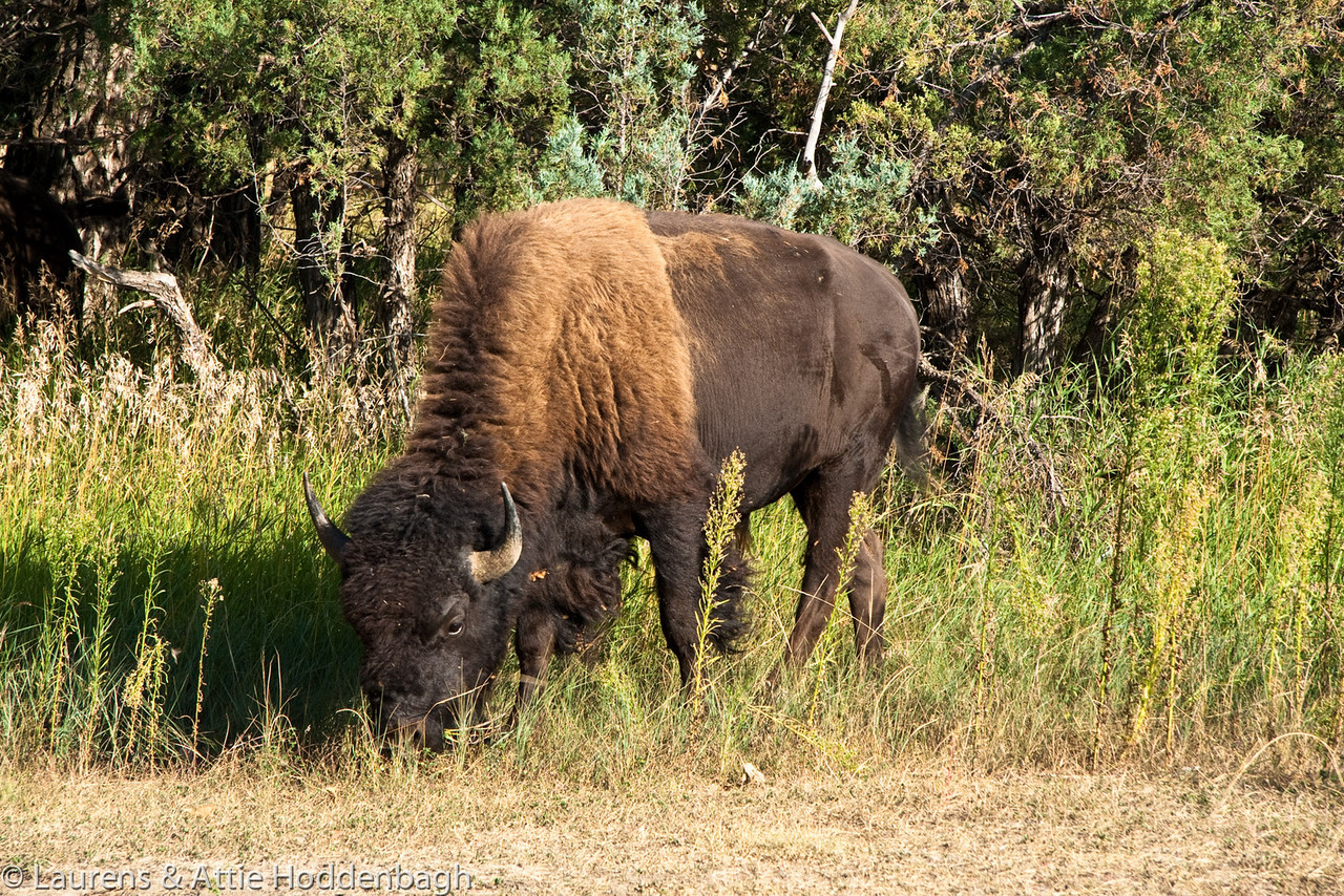 Buffalo in Campground