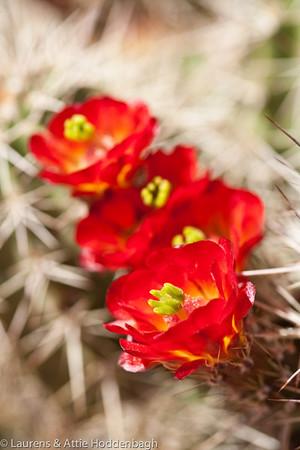 Flowering Hedgehog Cactus in Zion NP