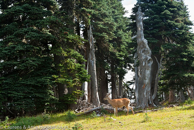 Deer at Hurricane Ridge, Olympic nat'l Park