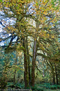 Hoh Rainforest, Hall of Mosses Trail