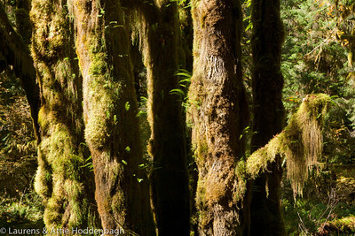 Mosses at trees in Hoh Rainforest Olympic National park