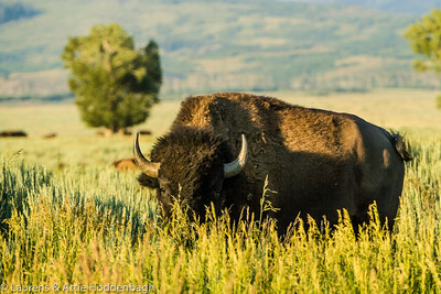 Buffalo, Grand Teton National Park