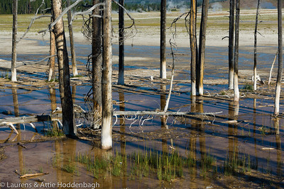 Trees at Midway Geyser Basin