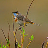 Bluethroat (Luscinia svecica), Wildlife