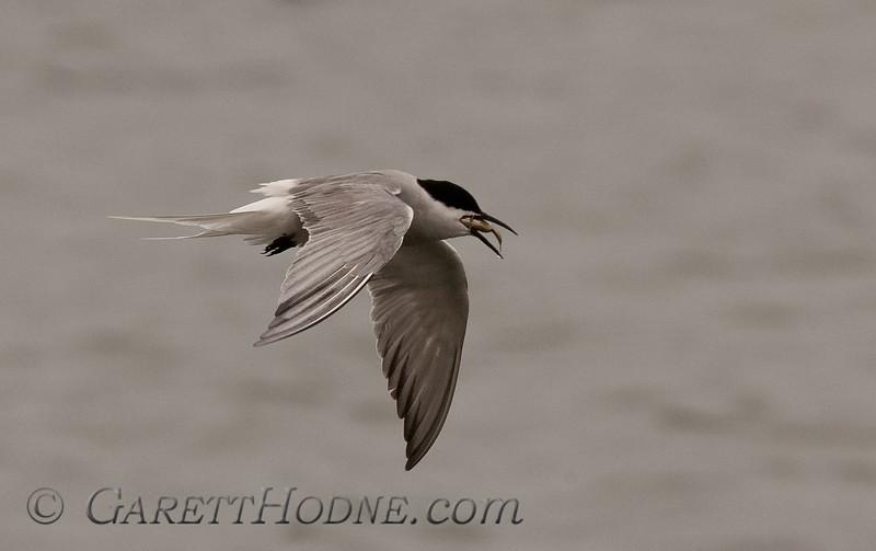 Common Tern (Sterna hirundo)<br /> Eurasian ssp. St Paul Island the Pribilofs