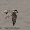 Common Tern (Sterna hirundo)<br /> Eurasian ssp. St Paul Island the Pribilofs