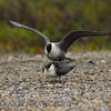 Long-tailed Jaeger (Stercorarius longicaudus)