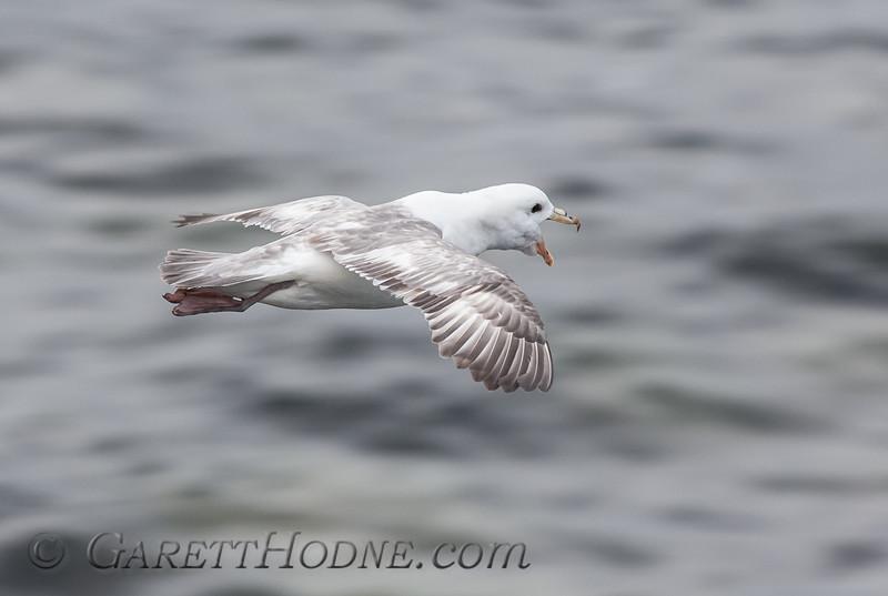 Northern Fulmar (Fulmarus glacialis)<br /> St Paul Island the Pribilofs