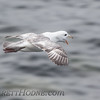 Northern Fulmar (Fulmarus glacialis)<br /> St Paul Island the Pribilofs