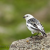 Snow Bunting (Plectrophenax nivalis)<br /> St Paul Island the Pribilofs