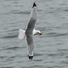 Black-legged Kittiwake (Rissa tridactyla)<br /> St Paul Island the Pribilofs