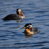 Red-necked Grebe (Podiceps grisegena)