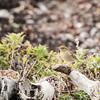 Arctic Warbler (Phylloscopus borealis)