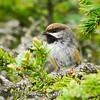 Boreal Chickadee (Poecile hudsonica)
