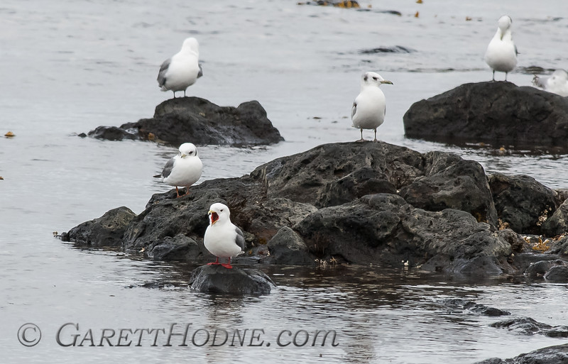 Red-legged Kittiwake (Rissa brevirostris)<br /> with Black-legged Kittiwake (Rissa tridactyla), St Paul Island the Pribilofs