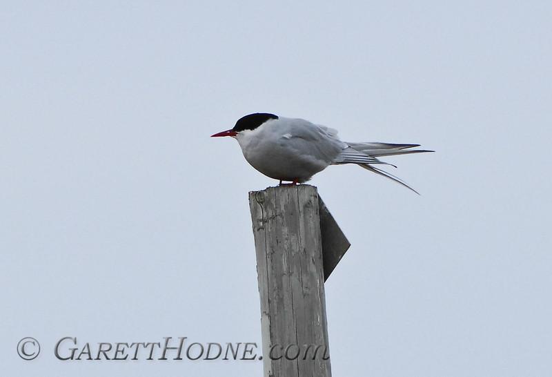 Arctic Tern (Sterna paradisaea),