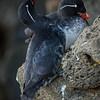 Parakeet Auklet (Aethia psittacula)<br /> St Paul Island the Pribilofs