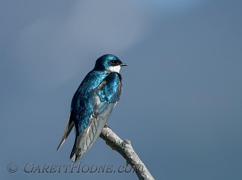 Tree Swallow (Tachycineta bicolor)<br /> Potters Marsh, Anchorage
