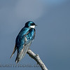 Tree Swallow (Tachycineta bicolor)<br /> Potters Marsh, Anchorage