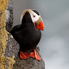 Tufted Puffin (Fratercula cirrhata)<br /> St Paul Island the Pribilofs