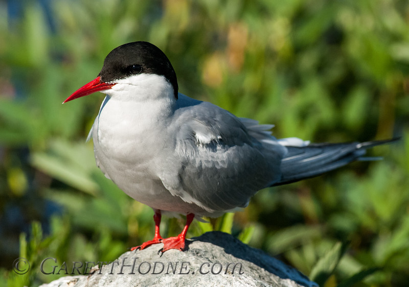 Arctic Tern (Sterna paradisaea)<br /> Potters Marsh, Anchorage