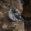 Least Auklet (Aethia pusilla)<br /> St Paul Island the Pribilofs
