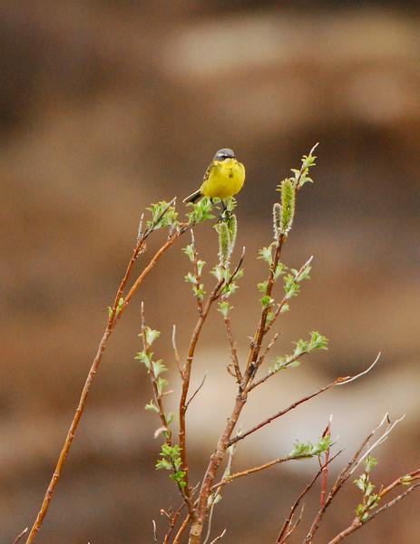 Eastern Yellow Wagtail (Motacilla tschutschensis)