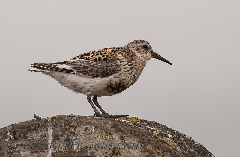 Rock Sandpiper (Calidris ptilocnemis)<br /> St Paul Island the Pribilofs