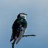 Violet-green Swallow (Tachycineta thalassina)