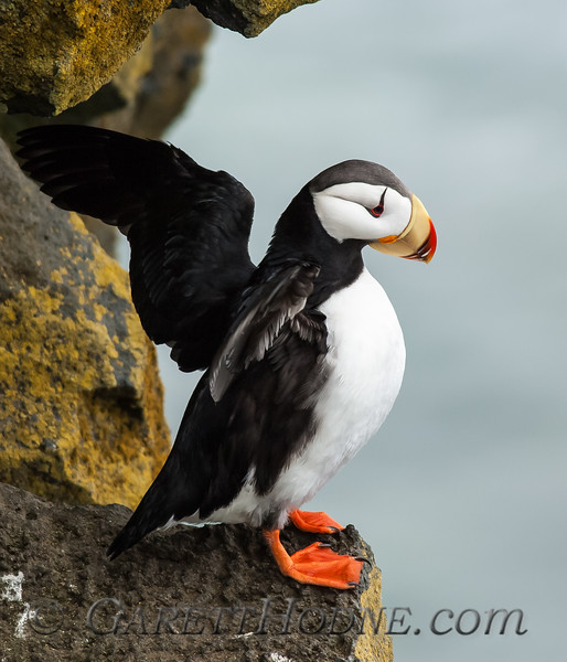 Horned Puffin (Fratercula corniculata)<br /> St Paul Island the Pribilofs