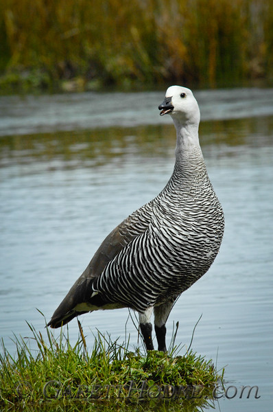 Upland Goose (Chloephaga picta) male