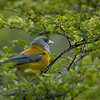 Patagonian Sierra-Finch (Phrygilus patagonicus)