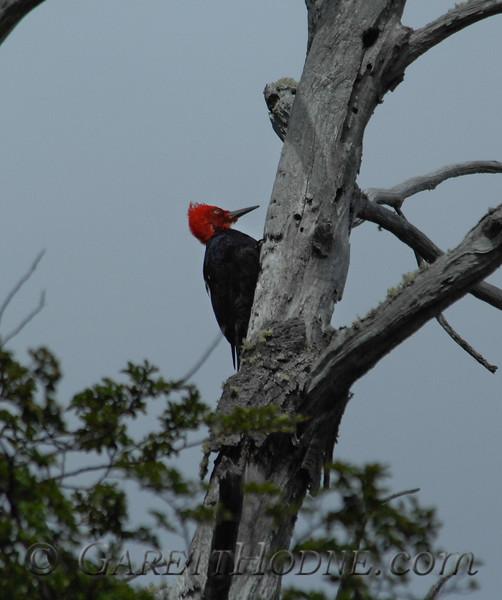 Magellanic Woodpecker (Campephilus magellanicus) male