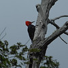 Magellanic Woodpecker (Campephilus magellanicus) male