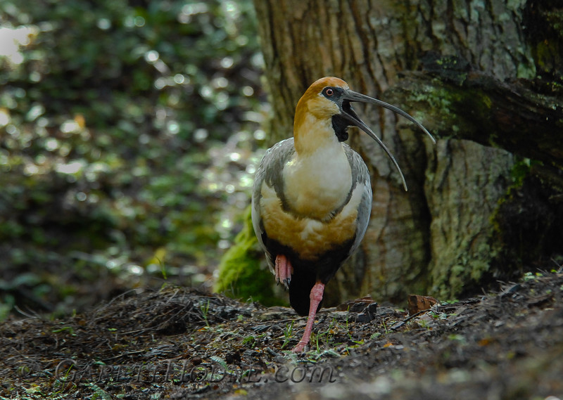 Black-faced Ibis (Theristicus melanopis)