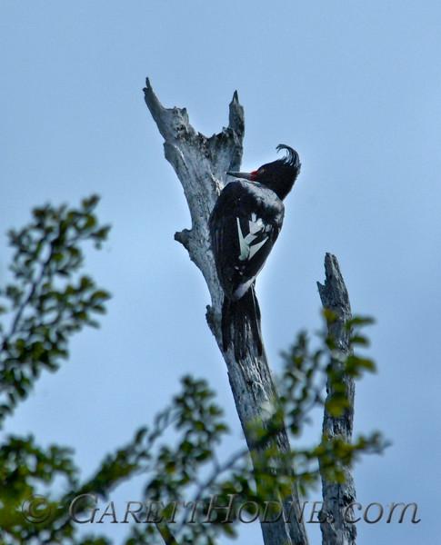 Magellanic Woodpecker (Campephilus magellanicus) Female