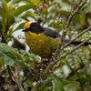 Pale-naped Brush-Finch (Atlapetes pallidinucha),