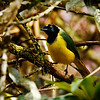 Inca (Green) Jay (Cyanocorax yncas yncas)