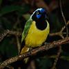 Green 'Inca' Jay (Cyanocorax yncas)