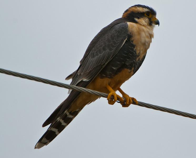 Aplomado Falcon (Falco femoralis)