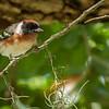 Bay-breasted Warbler (Dendroica castanea)