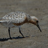 Red Knot (Calidris canutus), Wildlife
