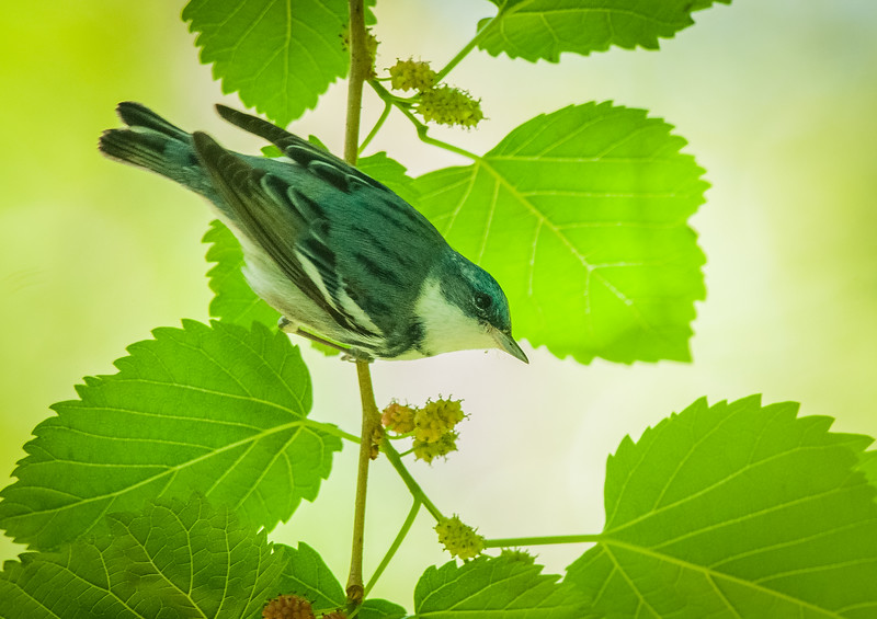 Cerulean Warbler (Dendroica cerulea)