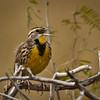 Eastern Meadowlark (Sturnella magna),
