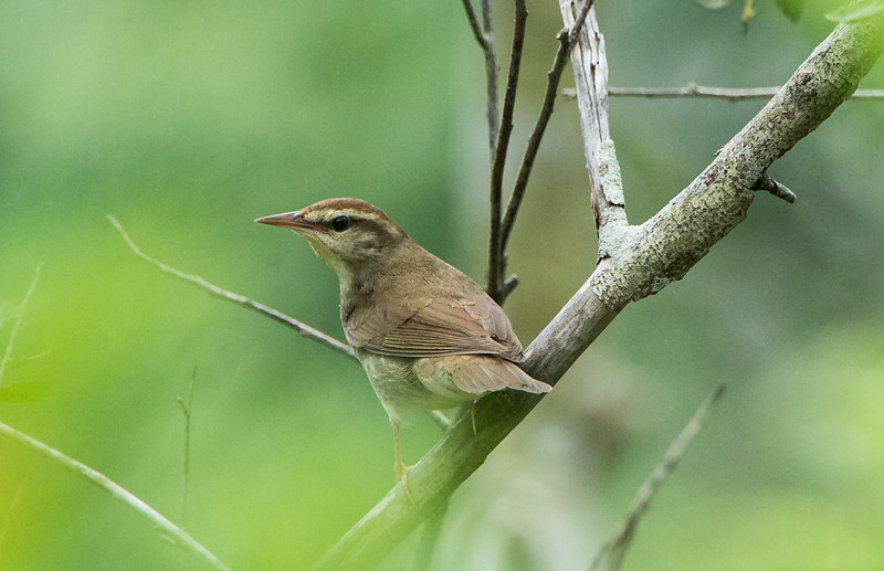 Swainson's Warbler (Limnothlypis swainsonii)