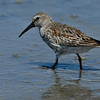 Dunlin (Calidris alpina), Wildlife