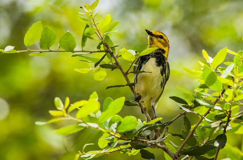 Black-throated Green Warbler (Dendroica virens)